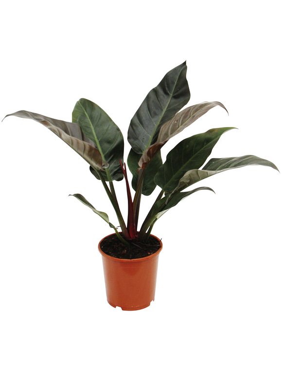 Baumfreund, Imperial Red Philodendron