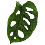Fensterblatt Monstera obliqua »Monkey Mask«