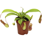 Kannenpflanze Nepenthes