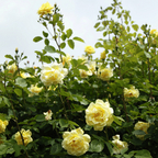 Kletterrose Rosa  »Golden Gate®«