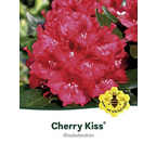 Rhododendron  »Cherry Kiss«, rot