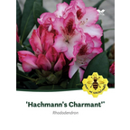 Rhododendron »Hachmann's Charmant«, weiß/rosa, Höhe: 30 - 40 cm