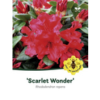 Rhododendron repens »Scarlet Wonder«, rot