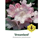Rhododendron yak. Dreamland , rosa