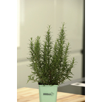 Rosmarin 3er Set Rosmarinus Officinalis