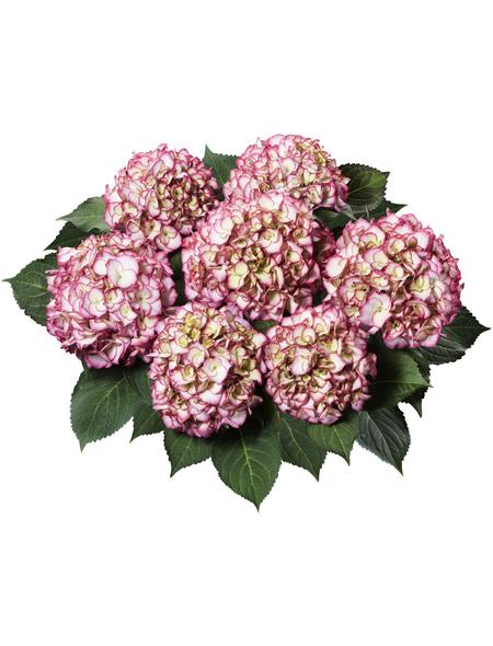 , Topf: 23 cm, Farbe: pink
