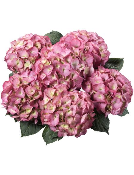 , Topf: 23 cm, Farbe: rosa