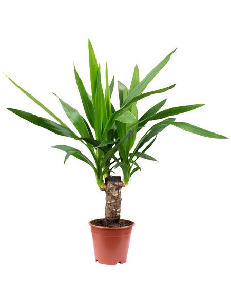 Palmlilie Yucca elephantipes | Garten > Pflanzen > Pflanzen | Hagebau