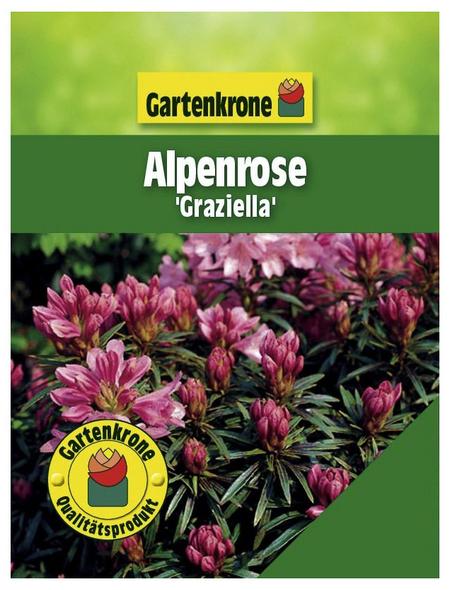 Alpenrose, Rhododendron ponticum »Graziella«, rosa/pink, Höhe: 25 - 30 cm
