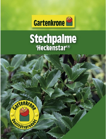 Stechpalme, Ilex meserveae »Heckenstar «, weiß, winterhart