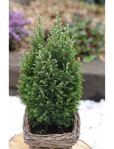 Gelbweiße Gartenzypresse Chamaecyparis Chamaecyparis »Snow White«