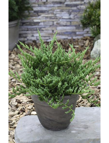 Blauer Teppich-Wacholder horizontalis Juniperus »Blue Chip«
