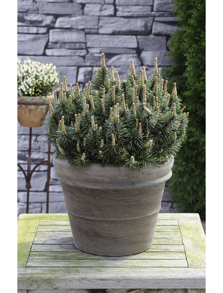 Flachwachsende Zwerg-Kiefer mugo Pinus »Humpy«