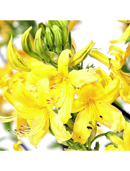 Gartenazalee, Rhododendron pontica »pontica Sämling«, gelb, Höhe: 30 - 50 cm