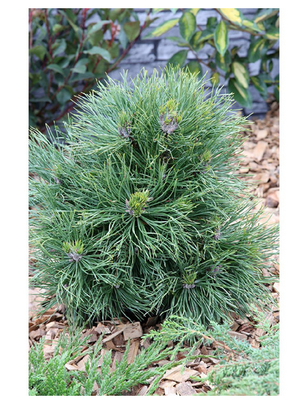 Kugel-Kiefer mugo Pinus »Varella«