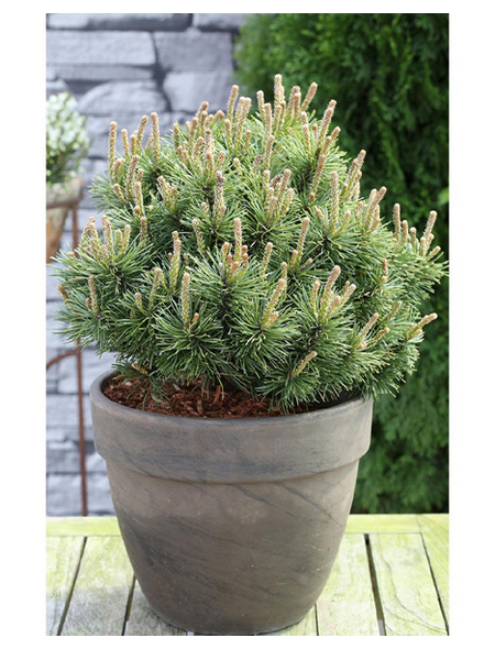Mops-Kiefer mugo Pinus »Mops«
