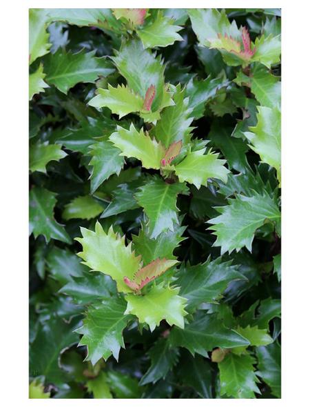 Stechpalme, Ilex meserveae »Little Rascal «, Blattfarbe mehrfarbig