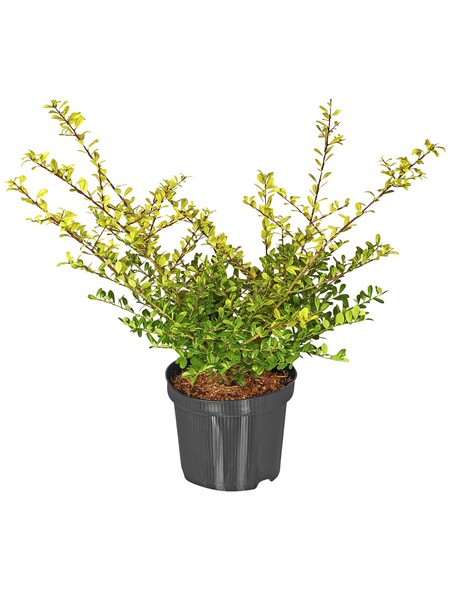 Zwerg-Stechpalme, Ilex crenata »Golden Gem«, Blütenfarbe weiß