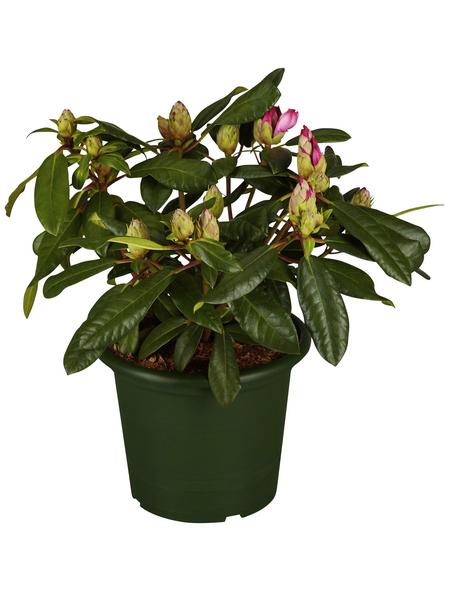 Alpenrose, Rhododendron »Diadem«, rosarot, Höhe: 30 - 40 cm
