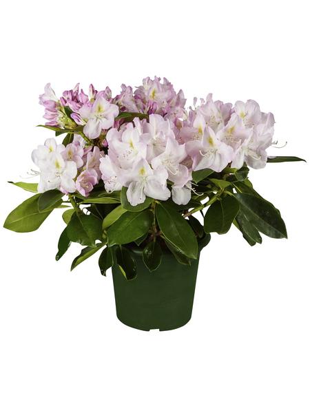 Alpenrose, Rhododendron »Gomer Waterer«, weiß, Höhe: 30 - 40 cm