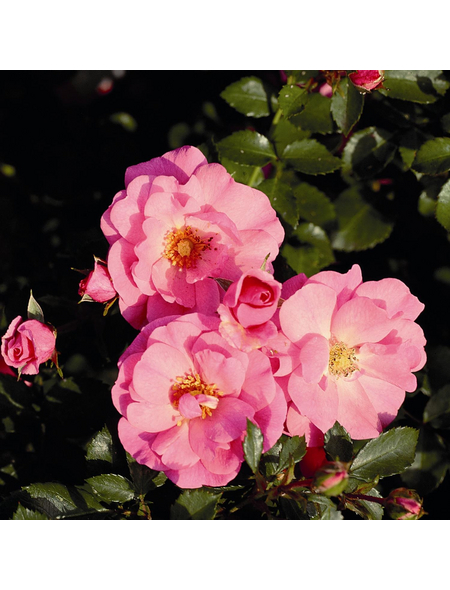Bodendeckerrose Rosa hybride »Mirato«