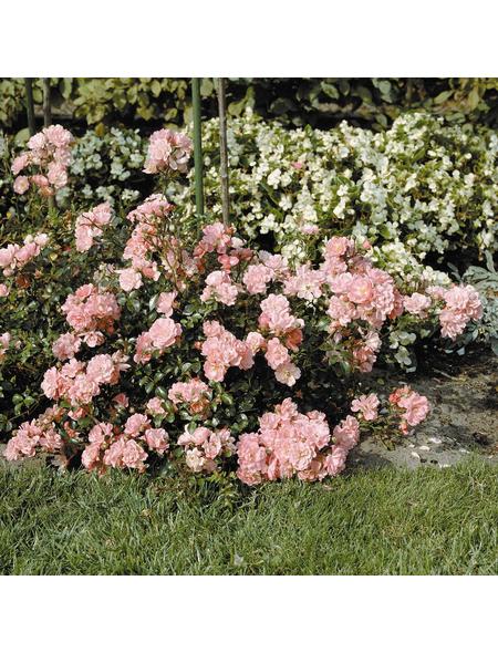 Bodendeckerrose Rosa hybride »Satina«
