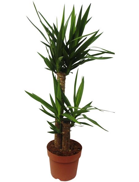 Riesen-Palmlilie Yucca elephantipes | Garten > Pflanzen > Pflanzen | Hagebau