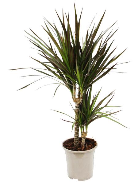 Drachenbaum, marginata Dracaena »Magenta«, Topf-Ø: 17cm | Küche und Esszimmer > Kochen und Backen > Töpfe | Hagebau