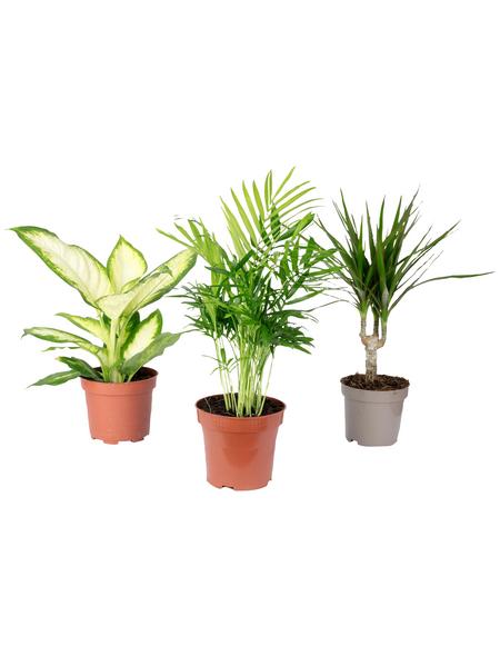 3er-Set Zimmerpflanzen 3er-Set Zimmerpflanzen Chamaedorea, Dieffenbachie, Dracaena, max. Wuchshöhe: 120  cm, mehrjährig