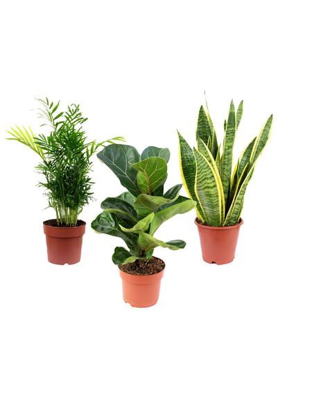 3er-Set Zimmerpflanzen Zimmerpflanzen-Trio Premium Set (Bergpalme, Geigenfeige, Bogenhanf), max. Wuchshöhe: 120  cm, mehrjährig