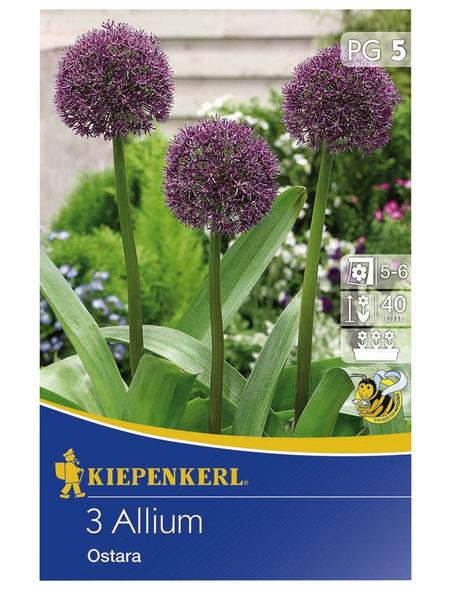 KIEPENKERL Allium Ostara, Lila, 3 Stück