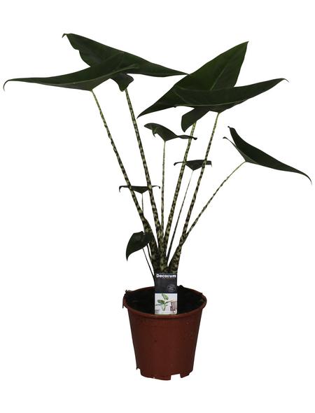 Alokasie, Alocasia zebrina,