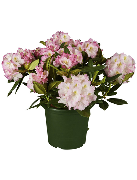 GARTENKRONE Alpenrose Rhododendron  »Brigitte«