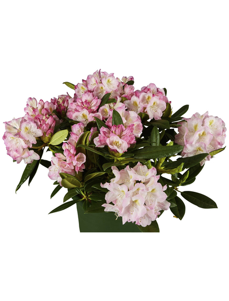 GARTENKRONE Alpenrose, Rhododendron »Brigitte«, rosa, winterhart