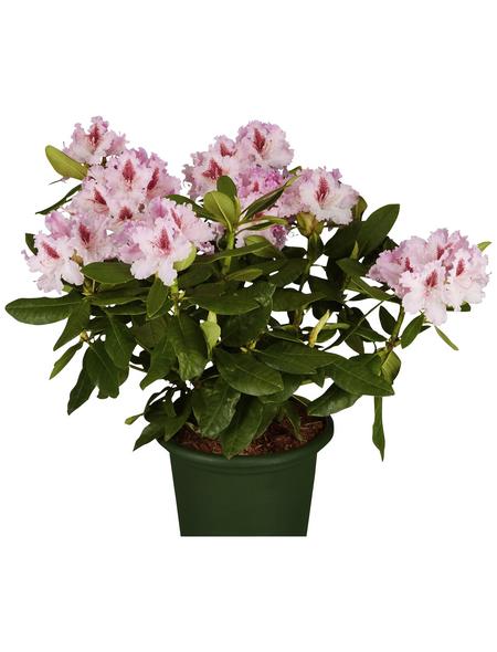 GARTENKRONE Alpenrose Rhododendron  »Le Progres«
