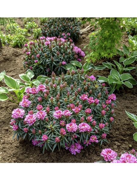 GARTENKRONE Alpenrose, Rhododendron ponticum »Graziella«, rosa/pink, winterhart