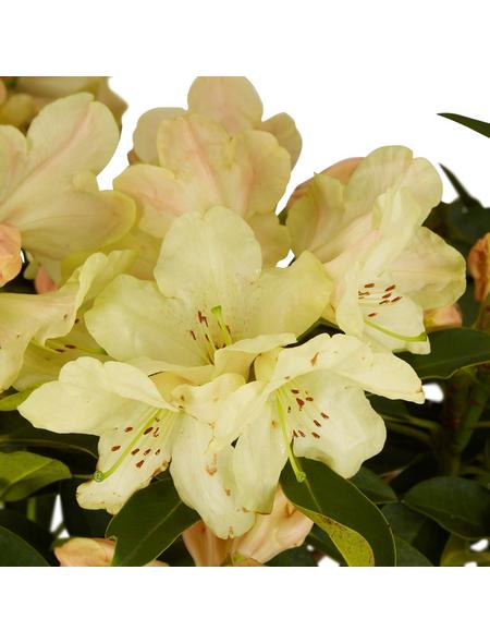 GARTENKRONE Alpenrose Rhododendron  »Westerstede«