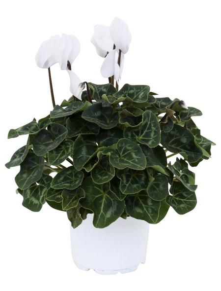 Alpenveilchen, Cyclamen persicum, max. Wuchshöhe: 20 cm, Blüte: weiß