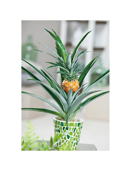 GARTENKRONE Ananas Ananas comosus