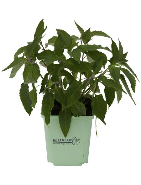 GREENBAR Ananassalbei 3er Set, Salvia elegans, Blütenfarbe: rot