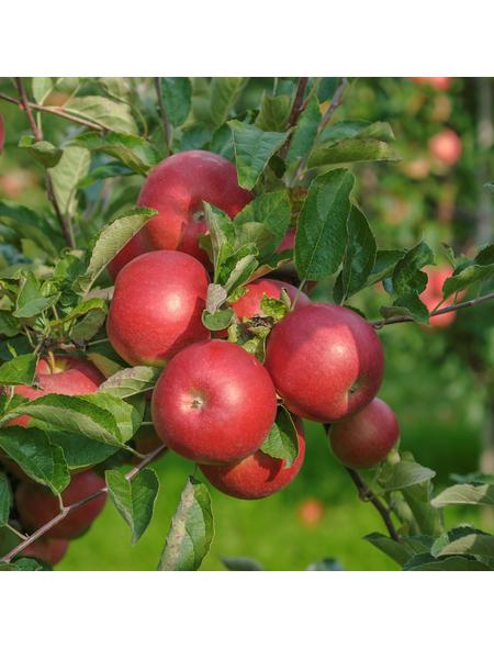 GARTENKRONE Apfel, Malus domestica »Idared«, Früchte: süß, zum Verzehr geeignet