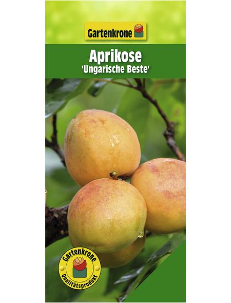 GARTENKRONE Aprikose, Prunus armeniaca »Ungarische Beste«, Früchte: süß, zum Verzehr geeignet