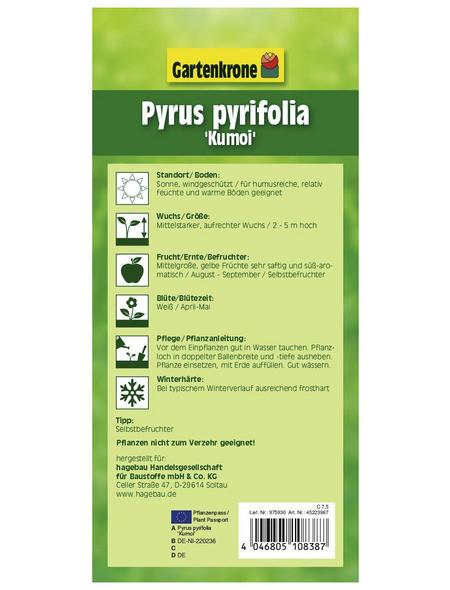 GARTENKRONE Asien-Birne, Pyrus pyrifolia  »Nashi Kumoi«, Früchte: gelb, süß