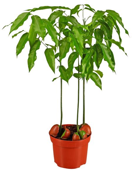 GARTENKRONE Australische Kastanie, Castanospermum australe, im Kunststoff-Kulturtopf