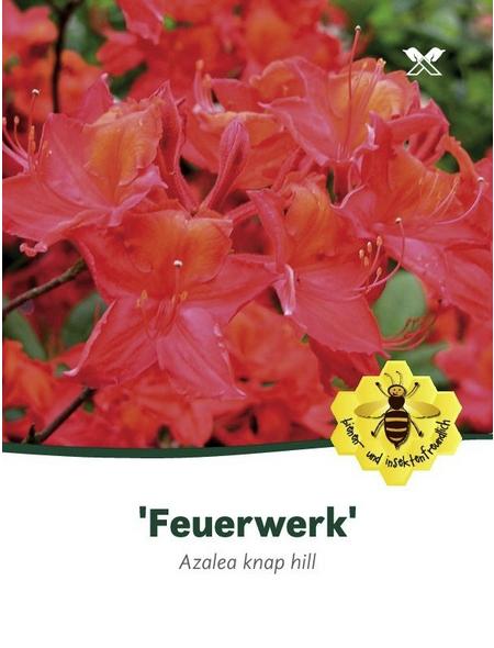 Azalee, Azalea knaphill »Feuerwerk«, rot, Höhe: 40 - 50 cm