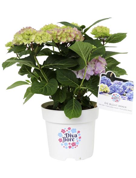 Ballhortensie macrophylla Hydrangea »Diva fiore«