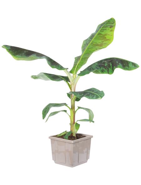 Bananenpflanze Musa Oriental Dwarf »Oriental Dwarf«