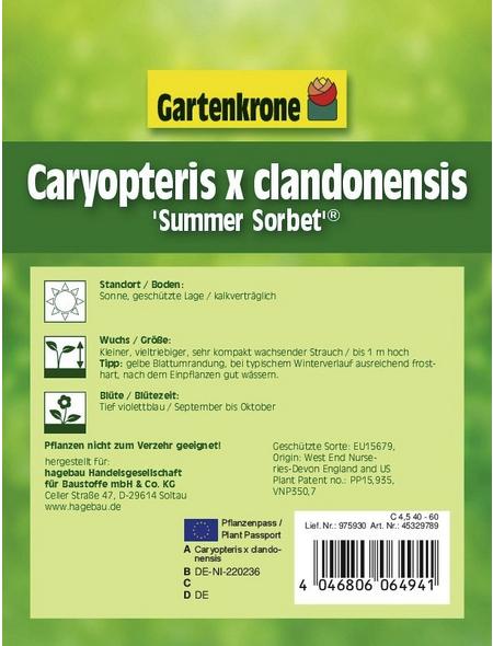 GARTENKRONE Bartblume, Caryopteris clandonensis »Summer Sorbet «, blau, winterhart