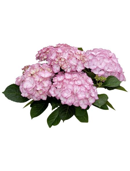 Bauernhortensie macrophylla Hydrangea »Rendez-vous«