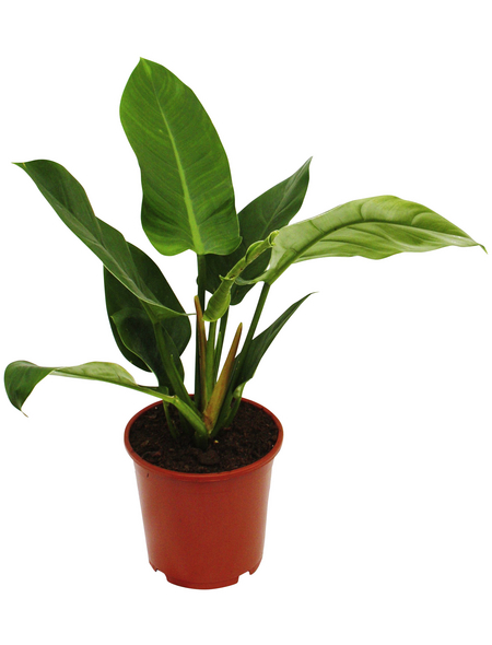 Baumfreund, Imperial Green Philodendron, Topf-Ø: 19cm